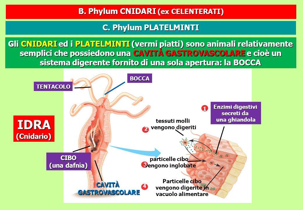 BOCCA TENTACOLO CIBO (una dafnia) CAVITÀGASTROVASCOLARE tessuti molli vengono digeriti 2 Enzimi digestivi secreti da una ghiandola 1 particelle cibo v