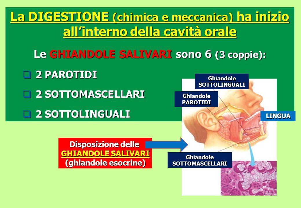 La DIGESTIONE (chimica e meccanica) ha inizio all'interno della cavità orale Le GHIANDOLE SALIVARI sono 6 (3 coppie):  2 PAROTIDI  2 SOTTOMASCELLARI
