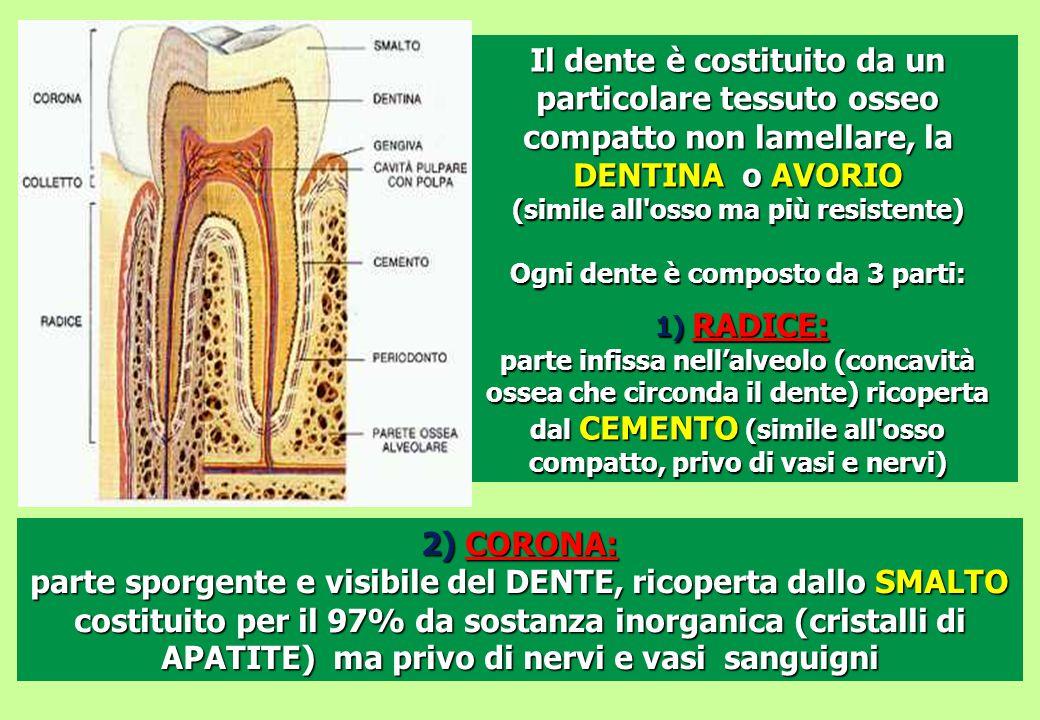 Il dente è costituito da un particolare tessuto osseo compatto non lamellare, la DENTINA o AVORIO (simile all'osso ma più resistente) Ogni dente è com