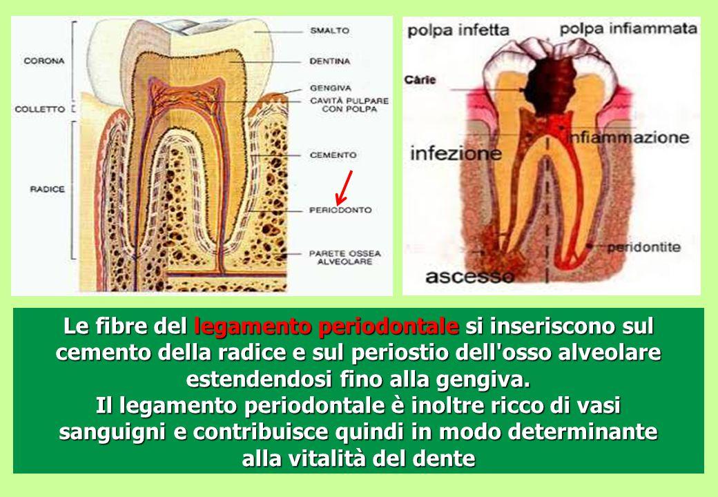Le fibre del legamento periodontale si inseriscono sul cemento della radice e sul periostio dell'osso alveolare estendendosi fino alla gengiva. Il leg