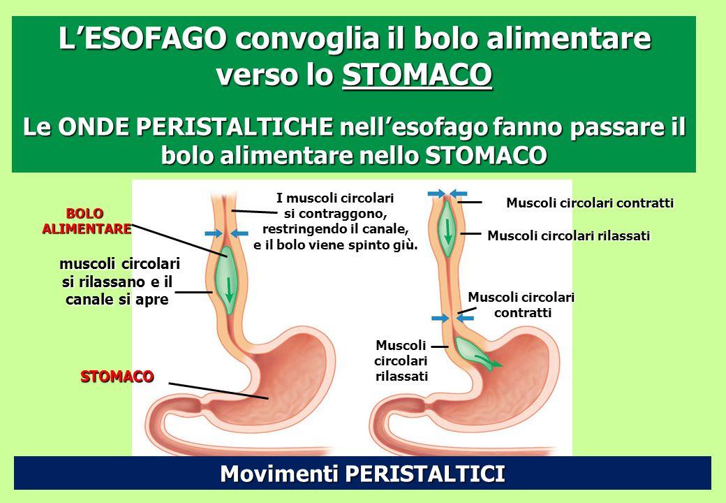 L'ESOFAGO convoglia il bolo alimentare verso lo STOMACO Le ONDE PERISTALTICHE nell'esofago fanno passare il bolo alimentare nello STOMACO BOLOALIMENTA