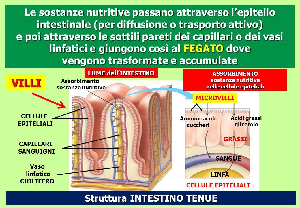 LUME dell'INTESTINO Assorbimento sostanze nutritive CELLULE EPITELIALI CAPILLARI SANGUIGNI Vaso linfatico CHILIFERO VILLI ASSORBIMENTO sostanze nutrit