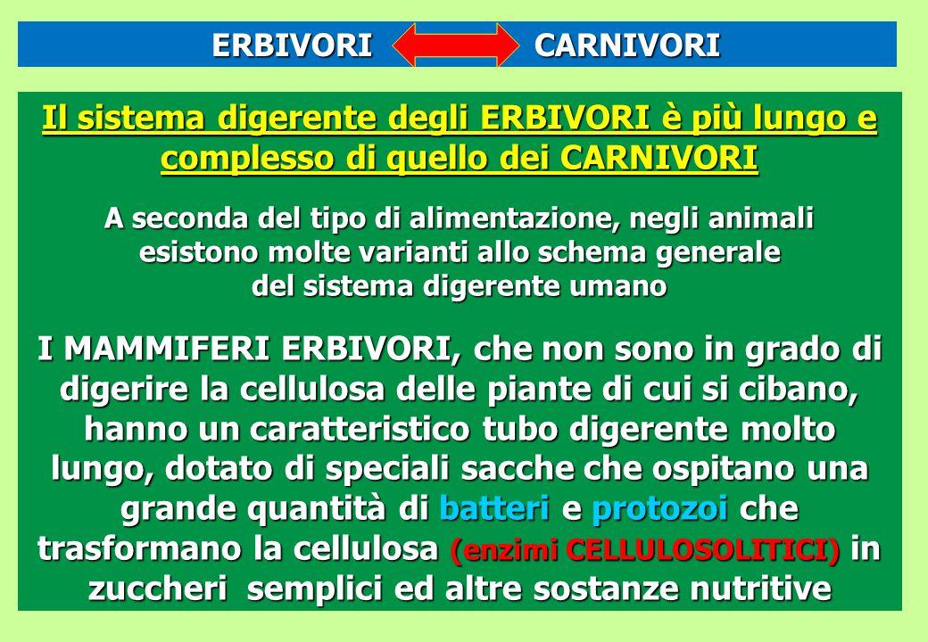 Il sistema digerente degli ERBIVORI è più lungo e complesso di quello dei CARNIVORI A seconda del tipo di alimentazione, negli animali esistono molte