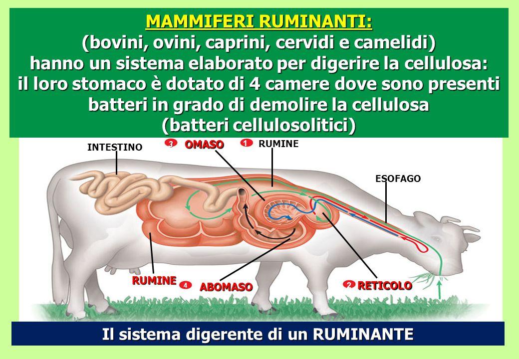 OMASO RUMINE INTESTINO RUMINE ABOMASO RETICOLO ESOFAGO 3 4 2 Il sistema digerente di un RUMINANTE MAMMIFERI RUMINANTI: (bovini, ovini, caprini, cervid