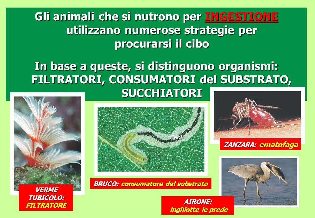 Gli animali che si nutrono per INGESTIONE utilizzano numerose strategie per procurarsi il cibo In base a queste, si distinguono organismi: FILTRATORI,