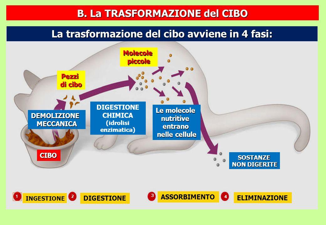 Enzimi per la digestione di grassi POLIMERI MONOMERI Enzimi per la digestione di proteine PROTEINA AMMINOACIDI POLISACCARIDE DISACCARIDE Enzimi per la digestione di polisaccaridi MONOSACCARIDI ACIDO NUCLEICO NUCLEOTIDI GRASSO GLICEROLO ACIDI GRASSI Enzimi per la digestione di acidi nucleici Nella DIGESTIONE CHIMICA, che comincia già nella bocca, i POLIMERI vengono scissi in MONOMERI SOSTANZE COMPLESSE SOSTANZE SEMPLICI C.