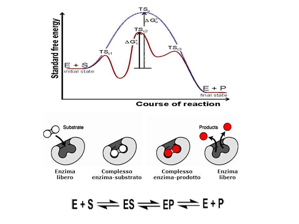 Sito attivo vuoto dell'enzima Substrato nel sito attivo La straordinaria complementarietà del sito attivo di un enzima al suo substrato lo rende un catalizzatore estremamente efficiente e specifico