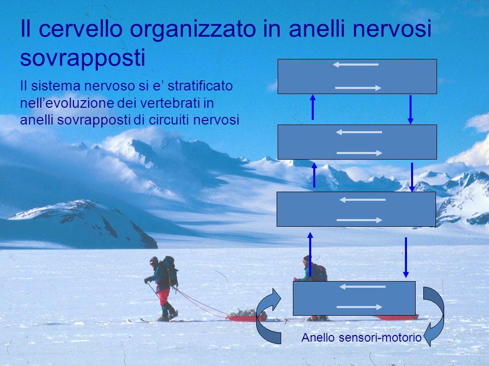 Il sistema nervoso si e' stratificato nell'evoluzione dei vertebrati in anelli sovrapposti di circuiti nervosi Il cervello organizzato in anelli nervosi sovrapposti Anello sensori-motorio