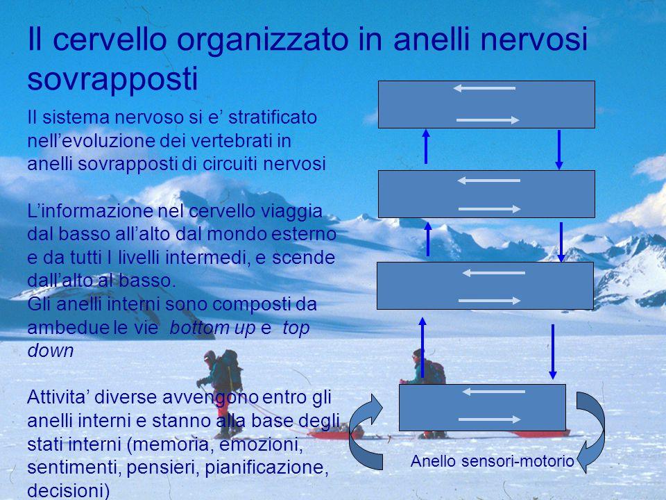 Il sistema nervoso si e' stratificato nell'evoluzione dei vertebrati in anelli sovrapposti di circuiti nervosi L'informazione nel cervello viaggia dal basso all'alto dal mondo esterno e da tutti I livelli intermedi, e scende dall'alto al basso.