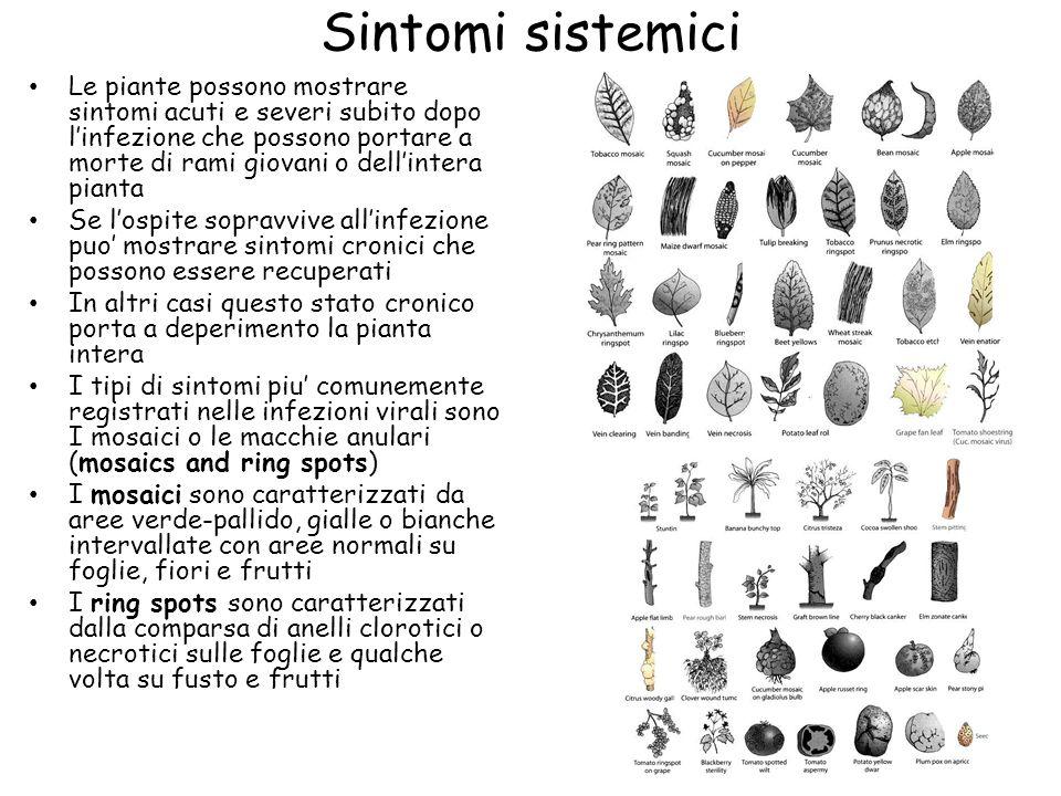 Sintomi sistemici Le piante possono mostrare sintomi acuti e severi subito dopo l'infezione che possono portare a morte di rami giovani o dell'intera