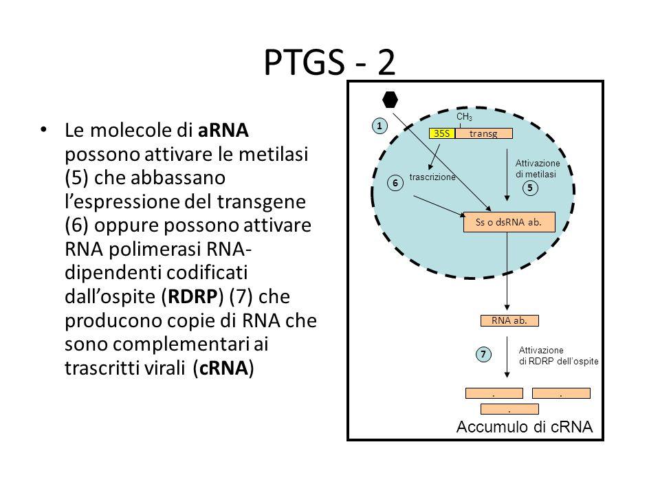 PTGS - 2 Le molecole di aRNA possono attivare le metilasi (5) che abbassano l'espressione del transgene (6) oppure possono attivare RNA polimerasi RNA