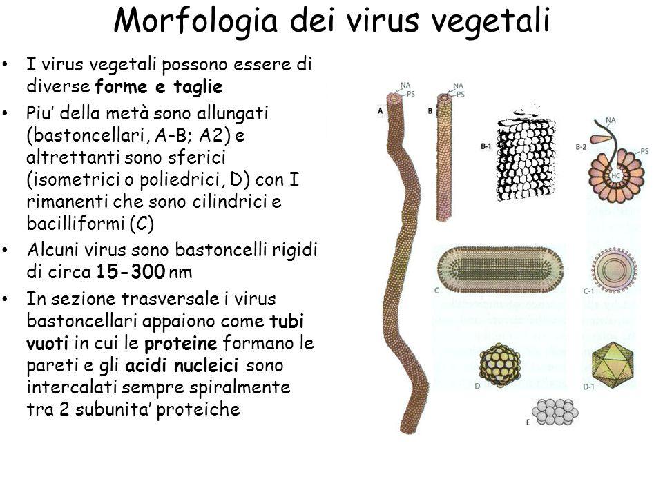 Composizione e struttura Ogni virus consiste al minimo di un acido nucleico e un tipo di proteina Alcuni virus consistono di più tipi di acidi nucleici e di proteine e altri hanno enzimi o lipidi Gli acidi nucleici costituiscono dal 5 al 40 % del virus mentre le proteine fanno il resto Il genoma virale e' abbastanza piccolo (1-3x10 6 Da) se comparato a quello dei batteri (1.5x10 9 Da) La parte proteica e' composta di subunità ripetute, la cui composizione aminoacidica varia da virus a virus e anche all'interno dello stesso tipo virale La subunita' proteica di TMV consiste di 158 AA in una sequenza costante con una massa di 17.6 KDa Ogni particella di TMV consiste di circa 130 giri d'elica di subunita' proteiche, tra cui e' impacchettato il genoma La maggior parte dei virus vegetali e' a RNA ma ci sono esempi anche di virus a DNA (su 1000; 800 a ssRNA, dsRNA, 110 ssDNA e 80 dsDNA) Esistono poi dei virus (satellite) che non sono in grado di replicarsi da soli nell'ospite ma hanno bisogno di un virus helper, di cui pero' spesso ne causano il rallentamento della replicazione Sono stati trovati anche degli RNA satellite all'interno di virioni di virus multicomponenti
