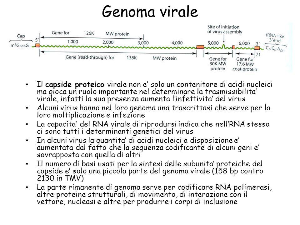 Genoma virale Il capside proteico virale non e' solo un contenitore di acidi nucleici ma gioca un ruolo importante nel determinare la trasmissibilita'