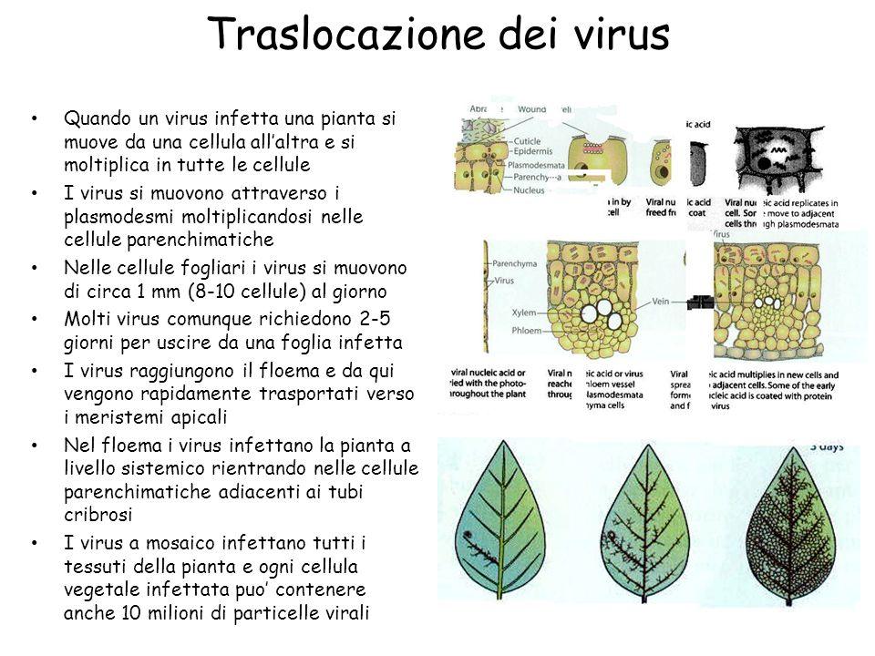 Traslocazione dei virus Quando un virus infetta una pianta si muove da una cellula all'altra e si moltiplica in tutte le cellule I virus si muovono at