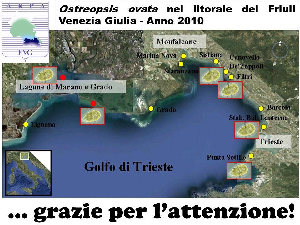 Ostreopsis ovata nel litorale del Friuli Venezia Giulia - Anno 2010 … grazie per l'attenzione!