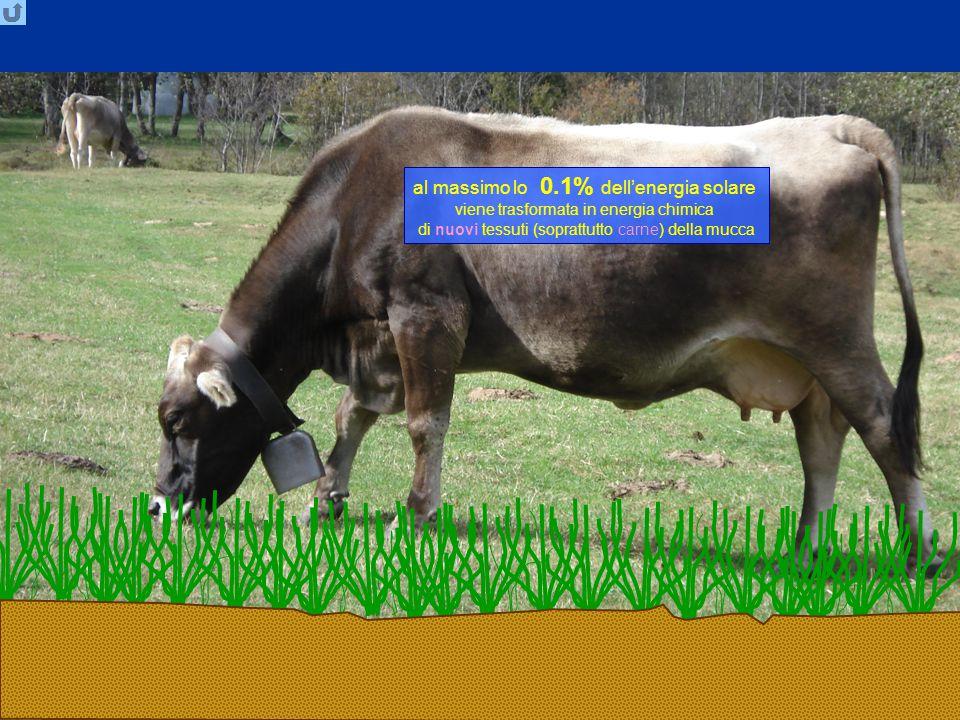 LiLu2, TT 2014 Ecosistemi: flusso energia 19 al massimo lo 0.1% dell'energia solare viene trasformata in energia chimica di nuovi tessuti (soprattutto carne) della mucca