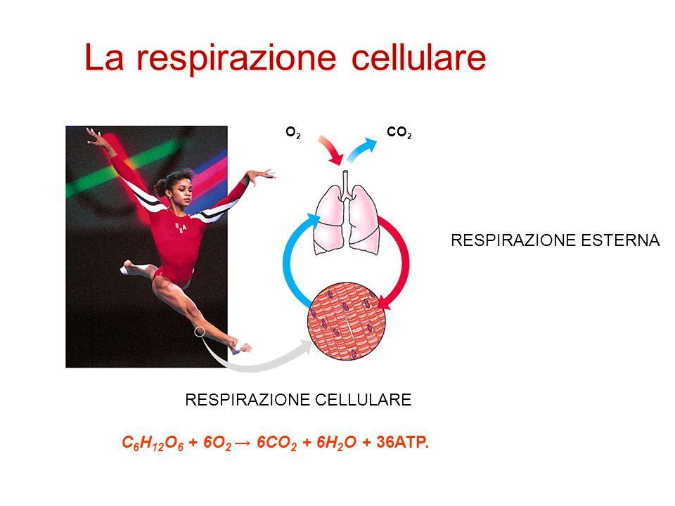 La respirazione cellulare O2O2 CO 2 RESPIRAZIONE ESTERNA C 6 H 12 O 6 + 6O 2 → 6CO 2 + 6H 2 O + 36ATP. RESPIRAZIONE CELLULARE