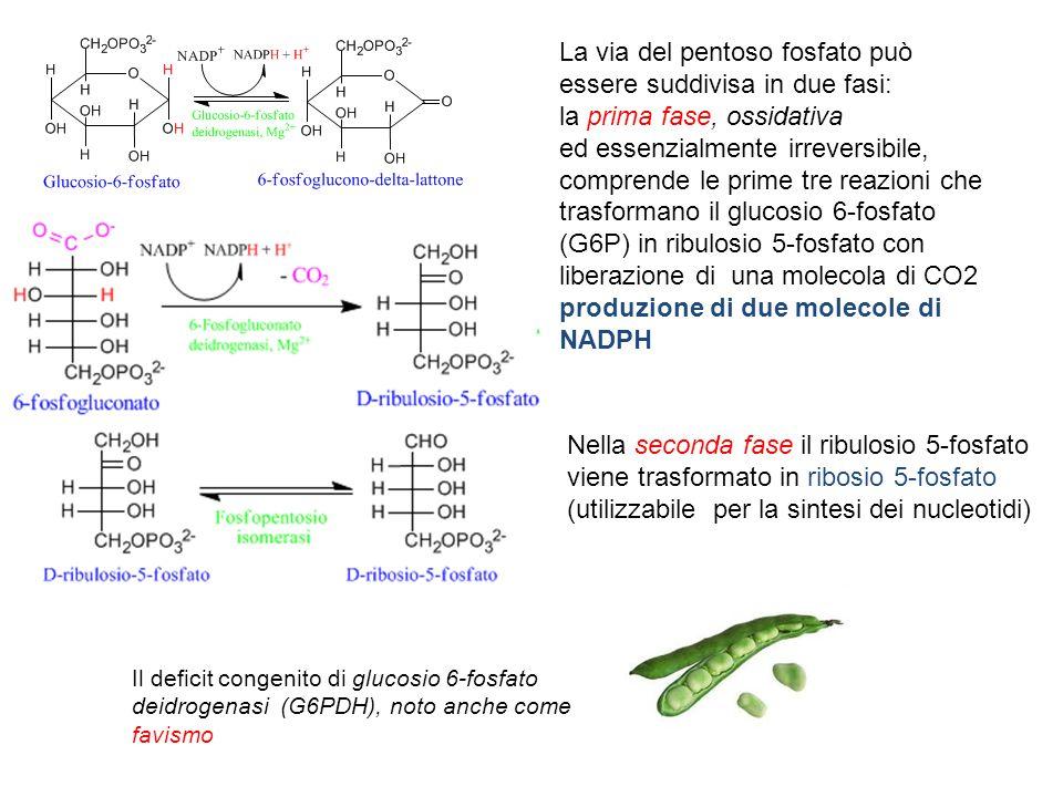 La via del pentoso fosfato può essere suddivisa in due fasi: la prima fase, ossidativa ed essenzialmente irreversibile, comprende le prime tre reazion