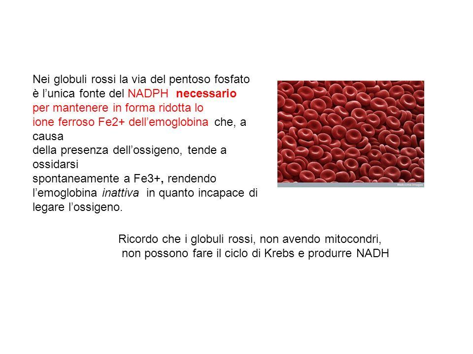 Nei globuli rossi la via del pentoso fosfato è l'unica fonte del NADPH necessario per mantenere in forma ridotta lo ione ferroso Fe2+ dell'emoglobina