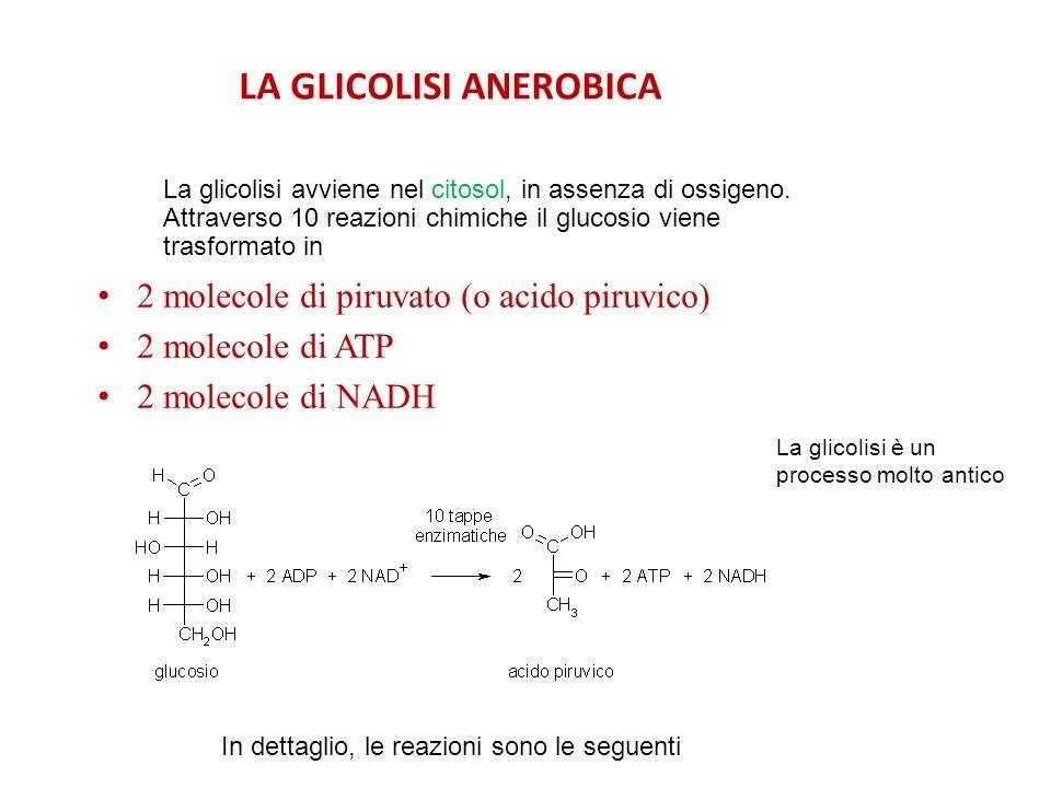 LA GLICOLISI ANEROBICA 2 molecole di piruvato (o acido piruvico) 2 molecole di ATP 2 molecole di NADH La glicolisi avviene nel citosol, in assenza di