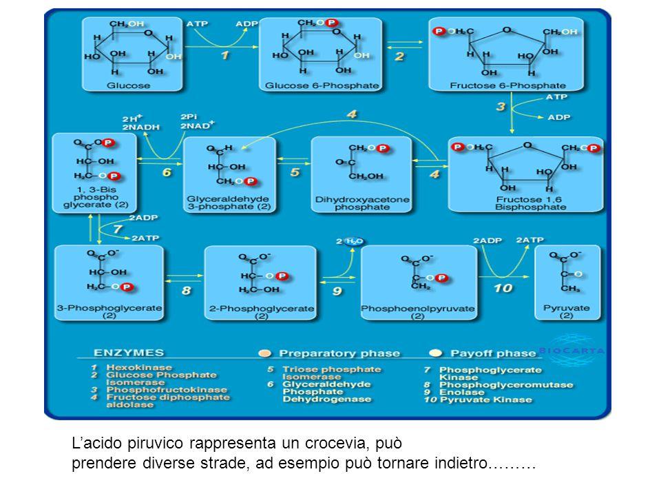 L'acido piruvico rappresenta un crocevia, può prendere diverse strade, ad esempio può tornare indietro………