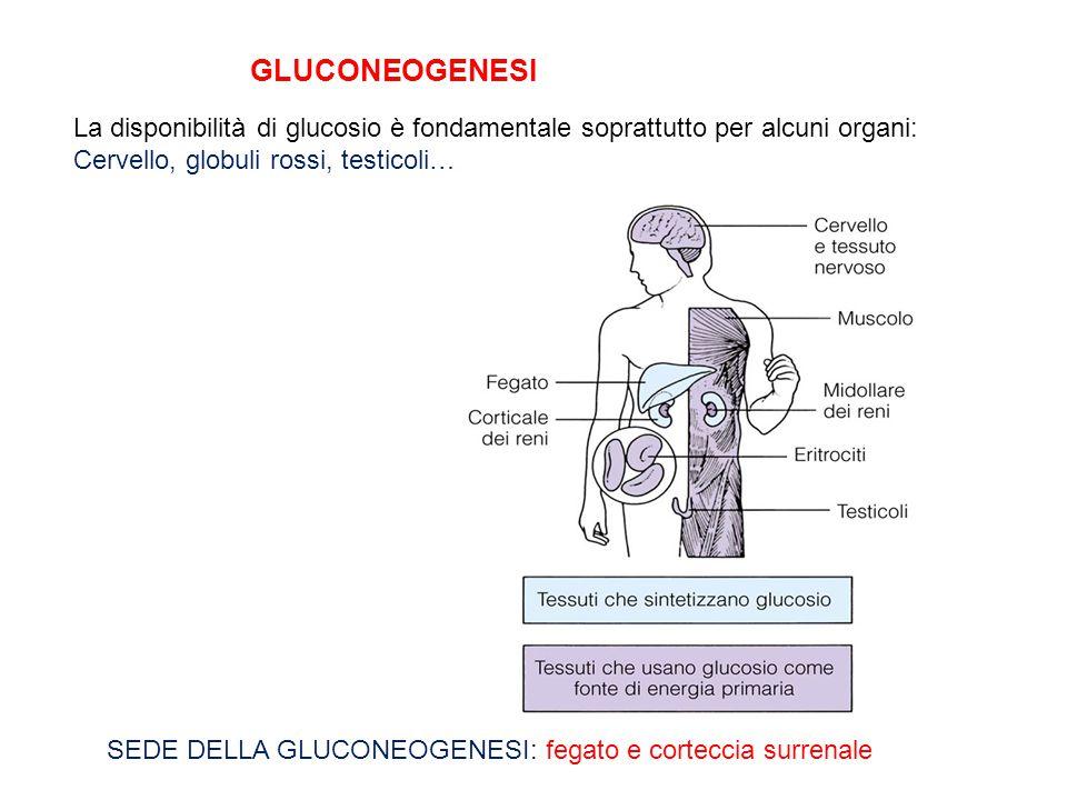 GLUCONEOGENESI La disponibilità di glucosio è fondamentale soprattutto per alcuni organi: Cervello, globuli rossi, testicoli… SEDE DELLA GLUCONEOGENES