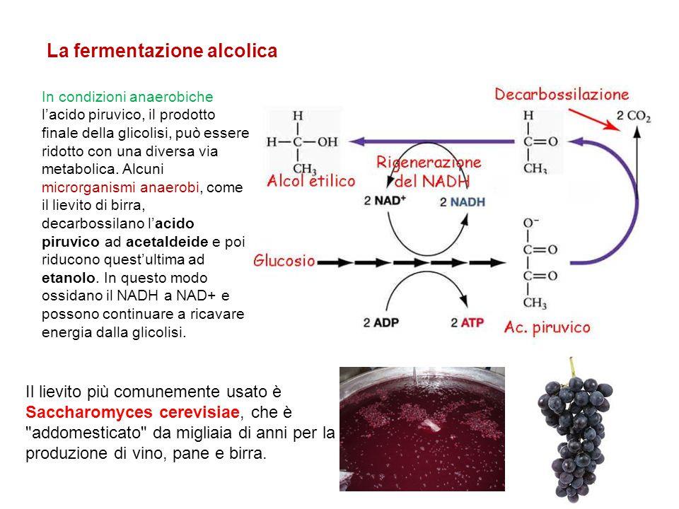 In condizioni anaerobiche l'acido piruvico, il prodotto finale della glicolisi, può essere ridotto con una diversa via metabolica. Alcuni microrganism