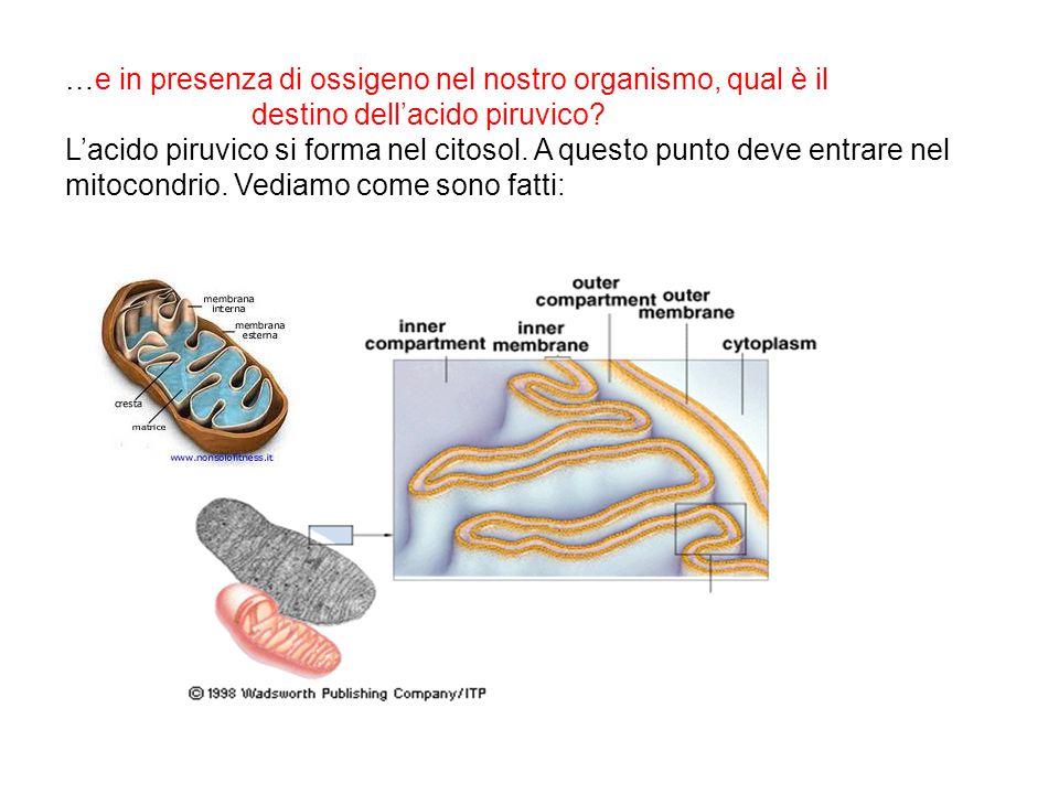 …e in presenza di ossigeno nel nostro organismo, qual è il destino dell'acido piruvico? L'acido piruvico si forma nel citosol. A questo punto deve ent