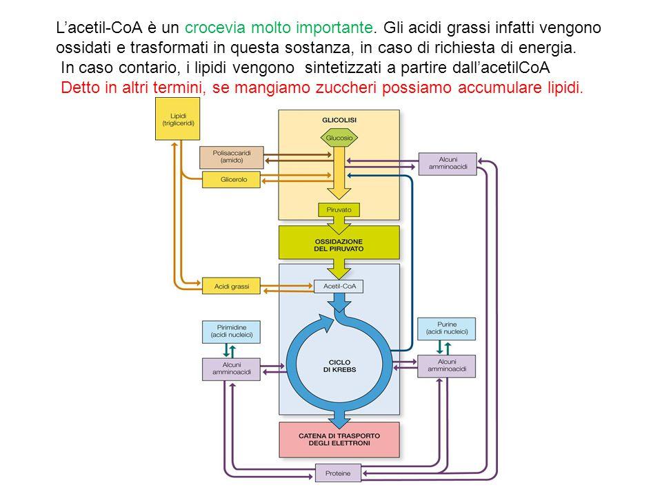 L'acetil-CoA è un crocevia molto importante. Gli acidi grassi infatti vengono ossidati e trasformati in questa sostanza, in caso di richiesta di energ