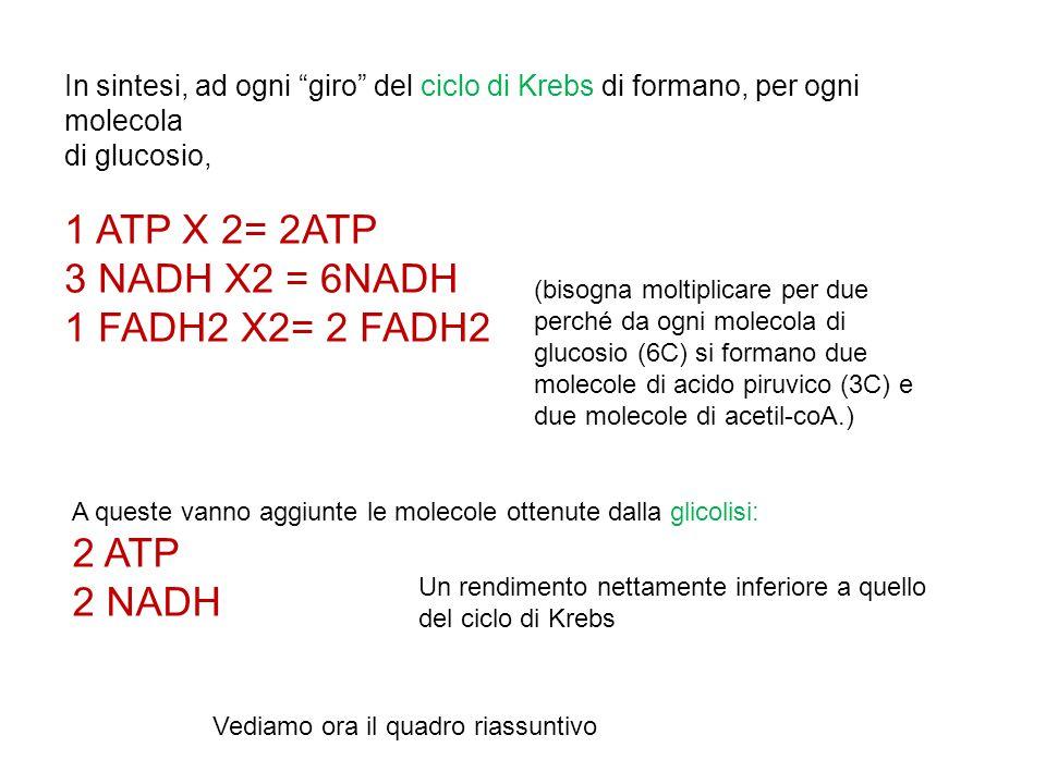 """In sintesi, ad ogni """"giro"""" del ciclo di Krebs di formano, per ogni molecola di glucosio, 1 ATP X 2= 2ATP 3 NADH X2 = 6NADH 1 FADH2 X2= 2 FADH2 Un rend"""