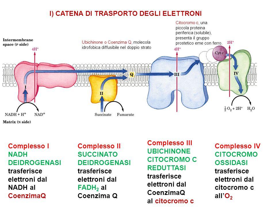 Complesso I NADH DEIDROGENASI trasferisce elettroni dal NADH al CoenzimaQ Complesso II SUCCINATO DEIDROGENASI trasferisce elettroni dal FADH 2 al Coen