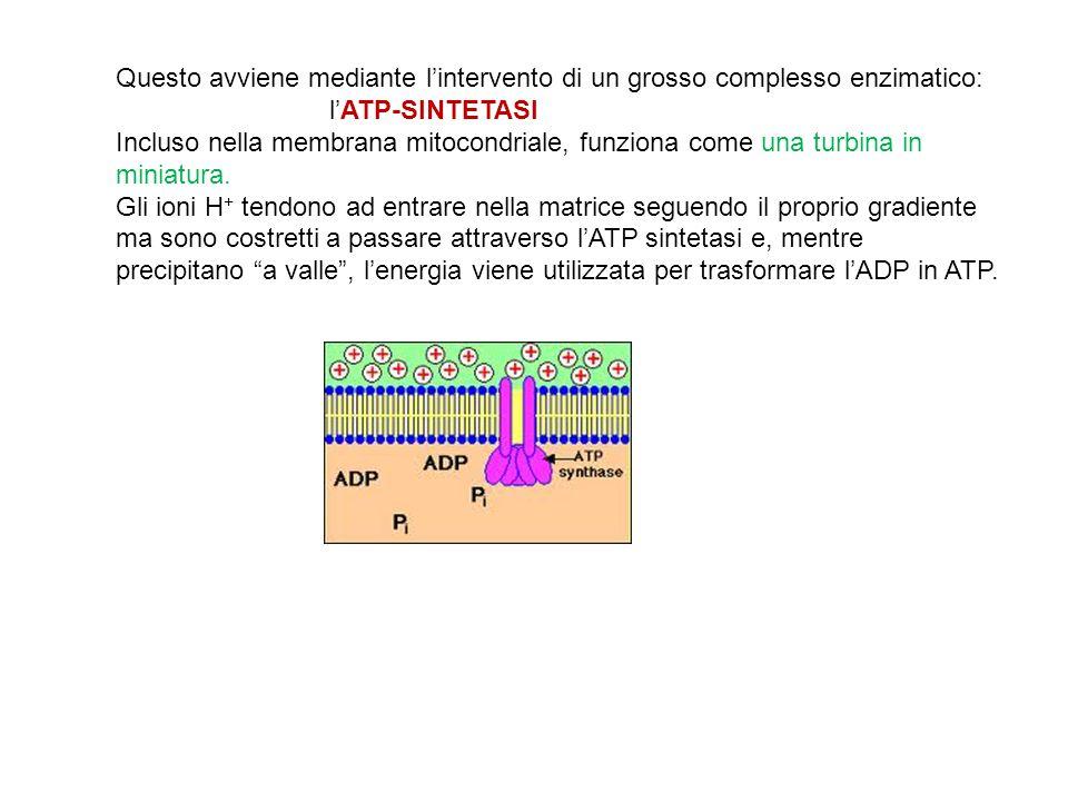 Questo avviene mediante l'intervento di un grosso complesso enzimatico: l'ATP-SINTETASI Incluso nella membrana mitocondriale, funziona come una turbin
