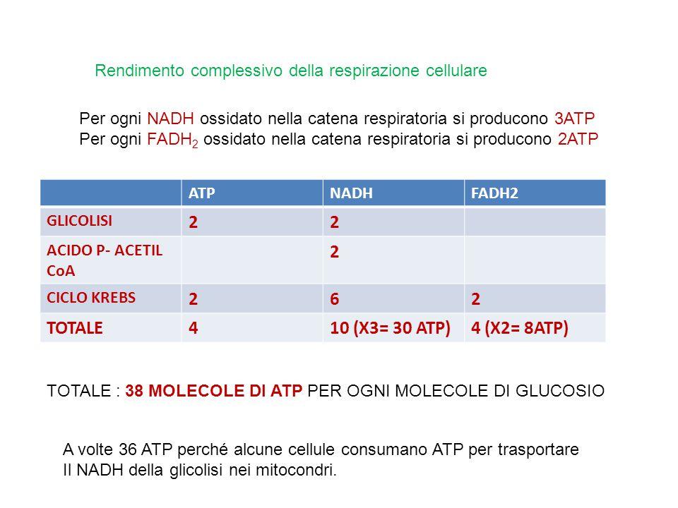 Rendimento complessivo della respirazione cellulare Per ogni NADH ossidato nella catena respiratoria si producono 3ATP Per ogni FADH 2 ossidato nella