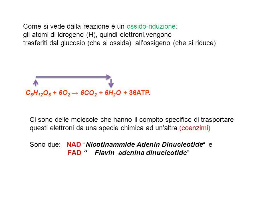 C 6 H 12 O 6 + 6O 2 → 6CO 2 + 6H 2 O + 36ATP. Come si vede dalla reazione è un ossido-riduzione: gli atomi di idrogeno (H), quindi elettroni,vengono t
