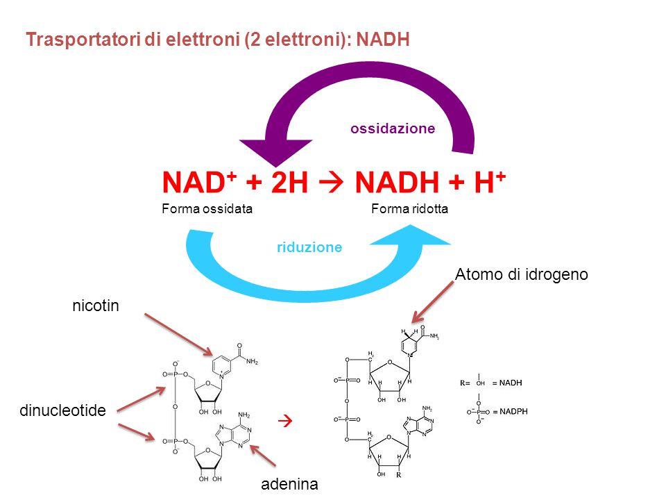 NAD + + 2H  NADH + H + ossidazione riduzione Trasportatori di elettroni (2 elettroni): NADH Forma ossidataForma ridotta  Atomo di idrogeno nicotin a