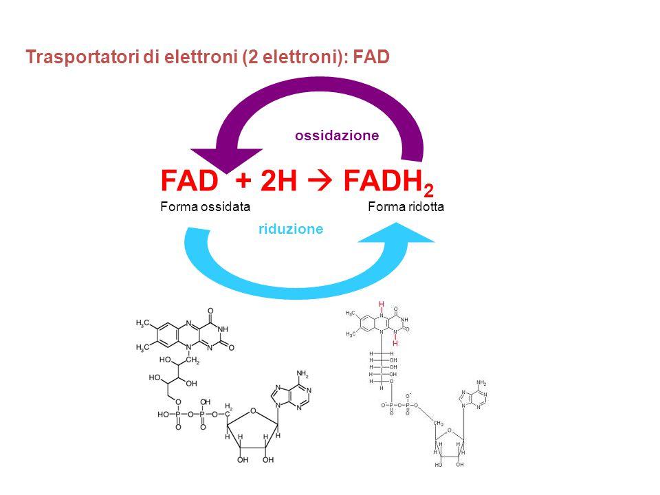 FAD + 2H  FADH 2 Trasportatori di elettroni (2 elettroni): FAD riduzione Forma ossidataForma ridotta ossidazione