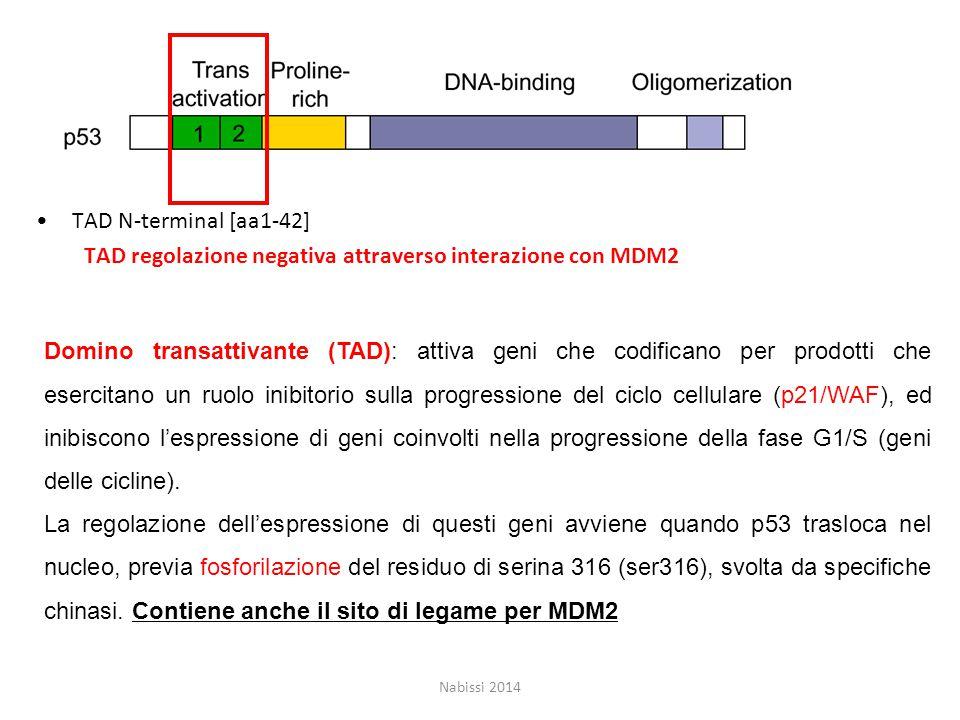 TAD N-terminal [aa1-42] TAD regolazione negativa attraverso interazione con MDM2 Nabissi 2014 Domino transattivante (TAD): attiva geni che codificano per prodotti che esercitano un ruolo inibitorio sulla progressione del ciclo cellulare (p21/WAF), ed inibiscono l'espressione di geni coinvolti nella progressione della fase G1/S (geni delle cicline).
