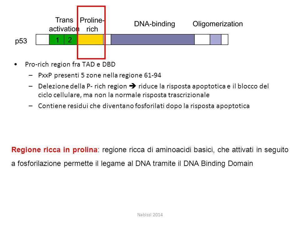 Pro-rich region fra TAD e DBD –PxxP presenti 5 zone nella regione 61-94 –Delezione della P- rich region  riduce la risposta apoptotica e il blocco del ciclo cellulare, ma non la normale risposta trascrizionale –Contiene residui che diventano fosforilati dopo la risposta apoptotica Nabissi 2014 Regione ricca in prolina: regione ricca di aminoacidi basici, che attivati in seguito a fosforilazione permette il legame al DNA tramite il DNA Binding Domain