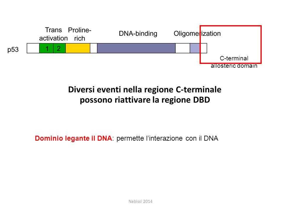 C-terminal allosteric domain Diversi eventi nella regione C-terminale possono riattivare la regione DBD Nabissi 2014 Dominio legante il DNA: permette l'interazione con il DNA
