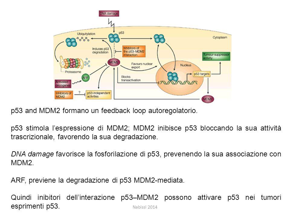 Nabissi 2014 p53 and MDM2 formano un feedback loop autoregolatorio.