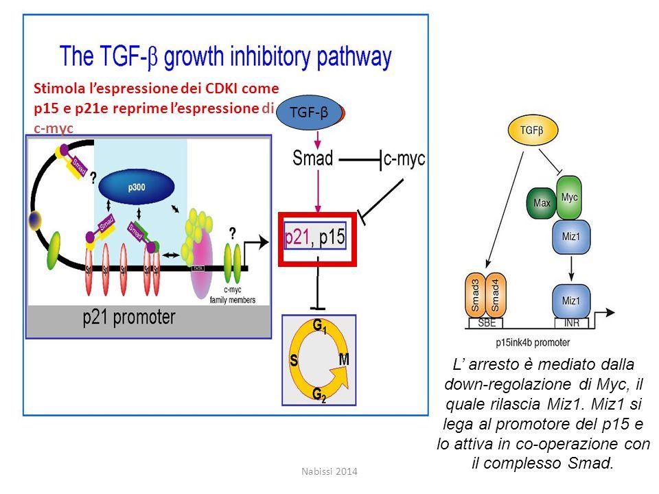 Stimola l'espressione dei CDKI come p15 e p21e reprime l'espressione di c-myc TGF-β L' arresto è mediato dalla down-regolazione di Myc, il quale rilascia Miz1.