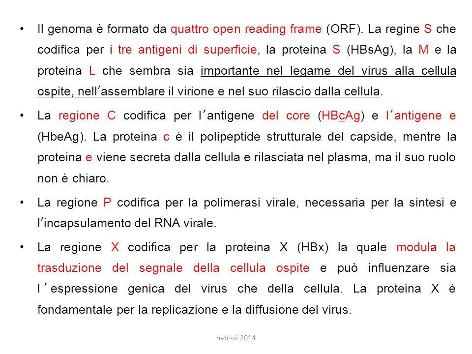 Il genoma è formato da quattro open reading frame (ORF).
