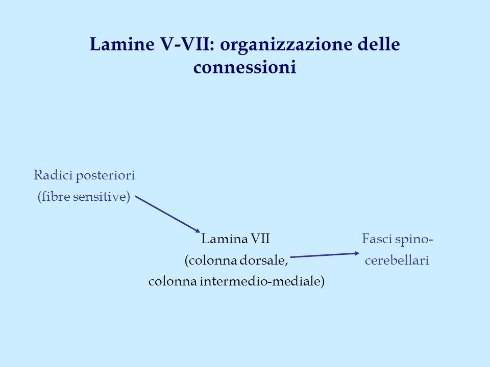 Lamine V-VII: organizzazione delle connessioni Radici posteriori (fibre sensitive) Lamina VII Fasci spino- (colonna dorsale, cerebellari colonna intermedio-mediale)