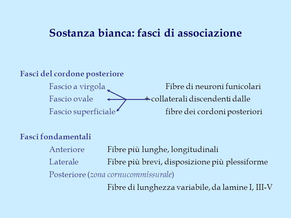 Sostanza bianca: fasci di associazione Fasci del cordone posteriore Fascio a virgola Fibre di neuroni funicolari Fascio ovale + collaterali discendenti dalle Fascio superficialefibre dei cordoni posteriori Fasci fondamentali Anteriore Fibre più lunghe, longitudinali LateraleFibre più brevi, disposizione più plessiforme Posteriore ( zona cornucommissurale ) Fibre di lunghezza variabile, da lamine I, III-V