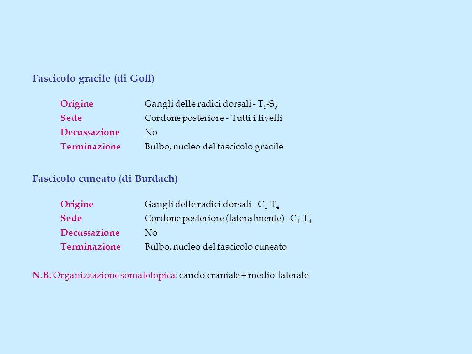 Fascicolo gracile (di Goll) Origine Gangli delle radici dorsali - T 5 -S 5 Sede Cordone posteriore - Tutti i livelli Decussazione No Terminazione Bulbo, nucleo del fascicolo gracile Fascicolo cuneato (di Burdach) Origine Gangli delle radici dorsali - C 1 -T 4 Sede Cordone posteriore (lateralmente) - C 1 -T 4 Decussazione No Terminazione Bulbo, nucleo del fascicolo cuneato N.B.