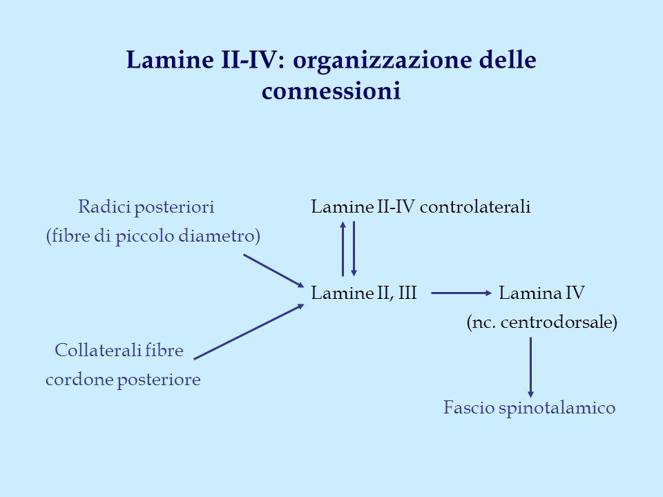 Lamine II-IV: organizzazione delle connessioni Radici posteriori Lamine II-IV controlaterali (fibre di piccolo diametro) Lamine II, III Lamina IV (nc.