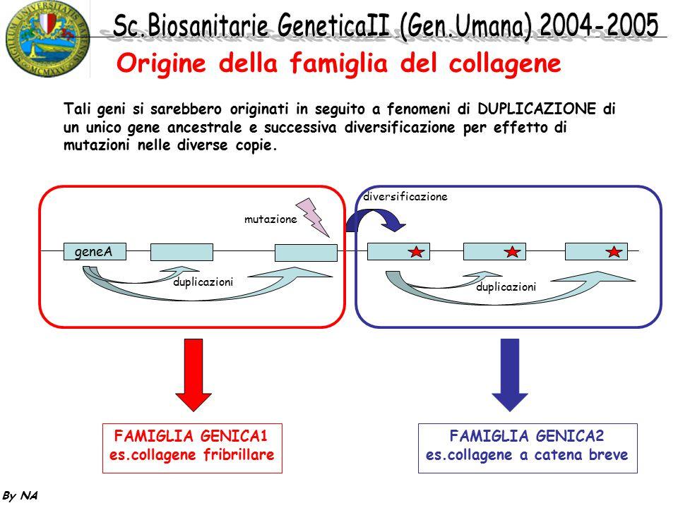 By NA Tali geni si sarebbero originati in seguito a fenomeni di DUPLICAZIONE di un unico gene ancestrale e successiva diversificazione per effetto di