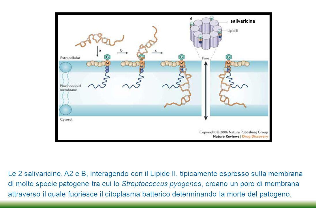Le 2 salivaricine sono prodotte da un plasmide di 190 Kilobasi presente all'interno del citoplasma dello Streptococcus salivarius K12 isolato dal bambino neozelandese e non sono quindi frutto di codifica di porzioni di DNA presenti nel cromosoma batterico.