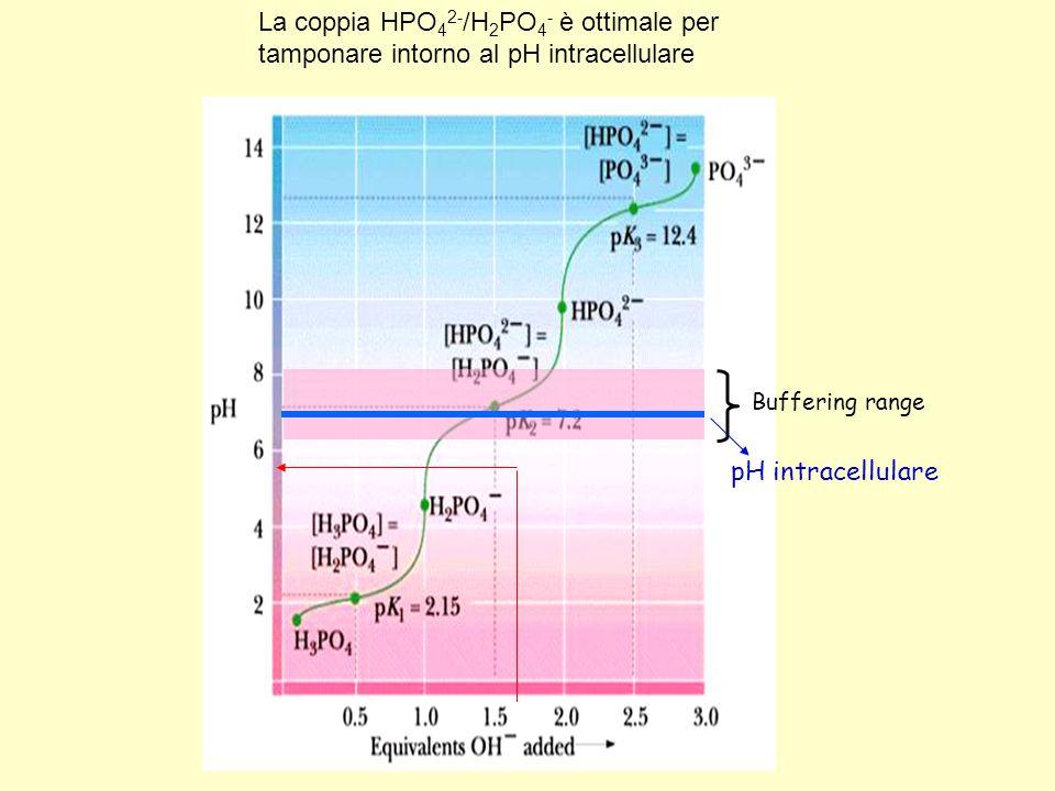 Buffering range pH intracellulare La coppia HPO 4 2- /H 2 PO 4 - è ottimale per tamponare intorno al pH intracellulare