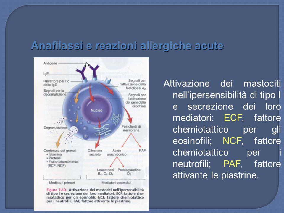 Attivazione dei mastociti nell'ipersensibilità di tipo I e secrezione dei loro mediatori: ECF, fattore chemiotattico per gli eosinofili; NCF, fattore